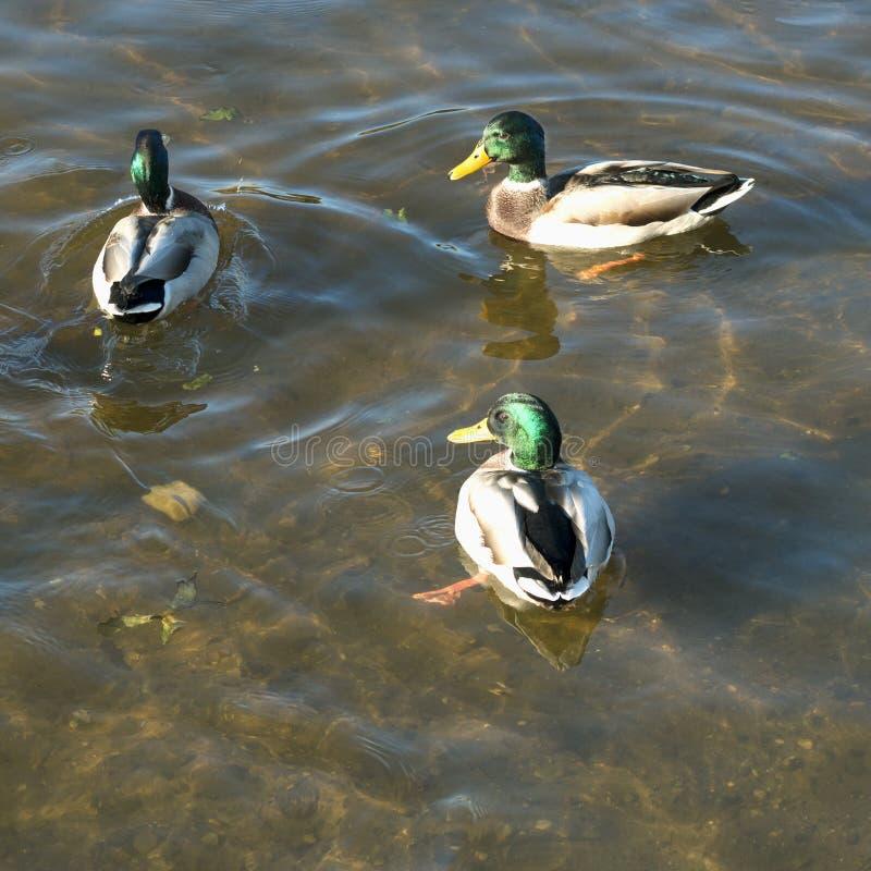Canards sauvages, canards masculins sur une rivière images libres de droits