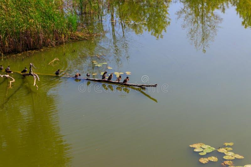 Canards sauvages se reposant sur le tronc d'arbre image stock