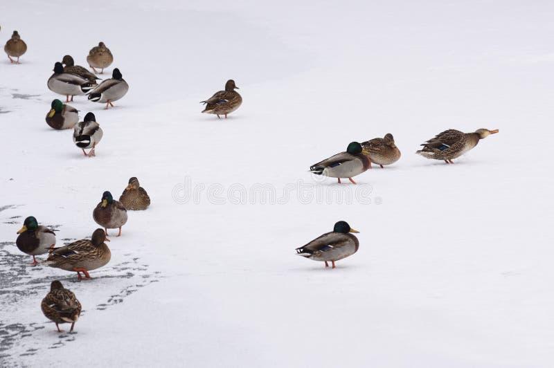 Canards sauvages sur la glace et la neige Style minimaliste de paysage d'hiver photo stock