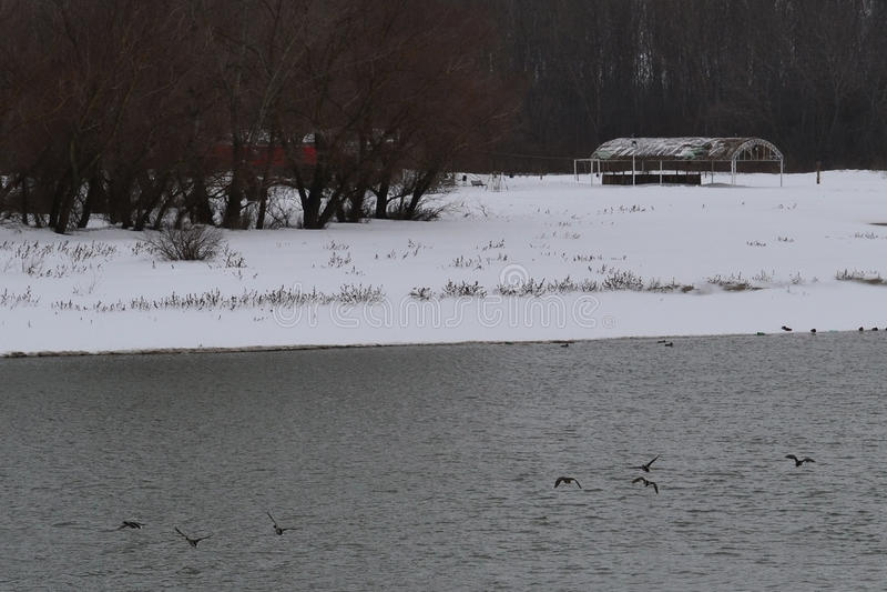 Canards sauvages sur la rivière Borcea images libres de droits