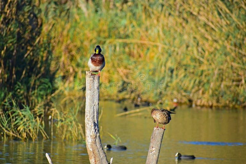 Canards se reposant sur un rondin avec le fond brouillé photos stock
