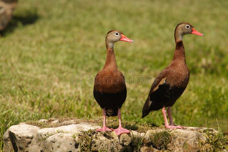 canards siffleurs Noir-gonflés photo libre de droits