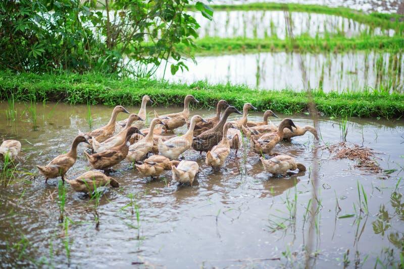 Canards sur des gisements de riz près d'Ubud image stock