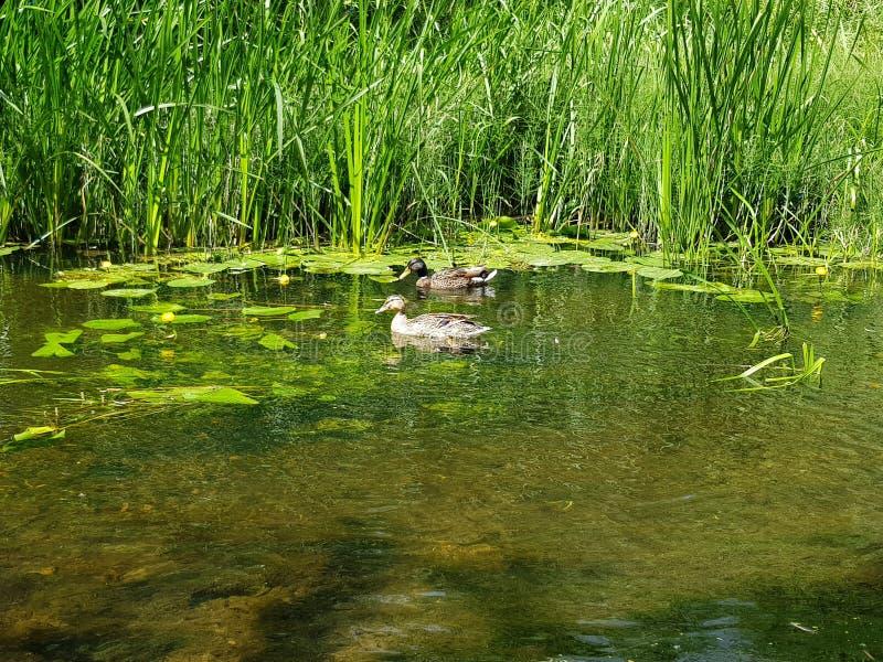 Canards sur l'eau image stock