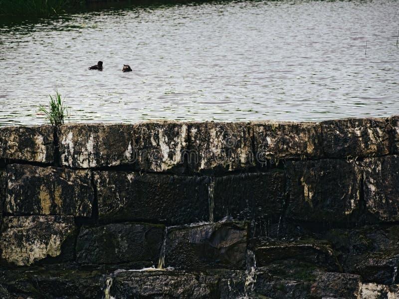 Canards sur le barrage photographie stock libre de droits
