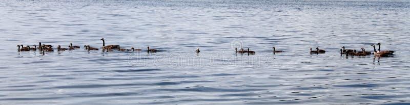 Canards sur le lac photo stock