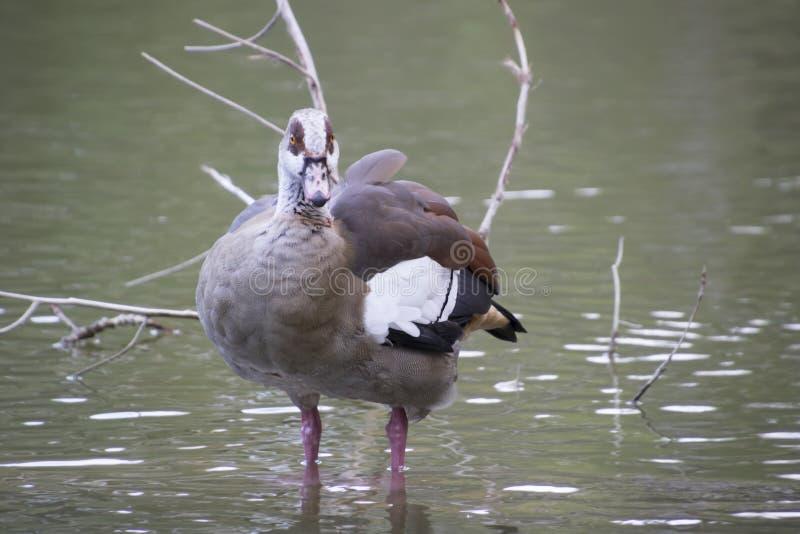 Canards sur le lac images libres de droits