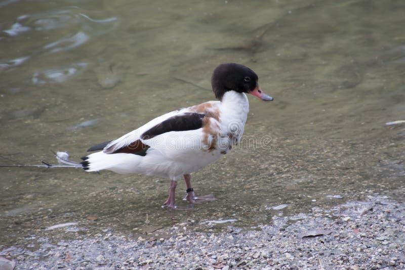 Canards sur le lac images stock