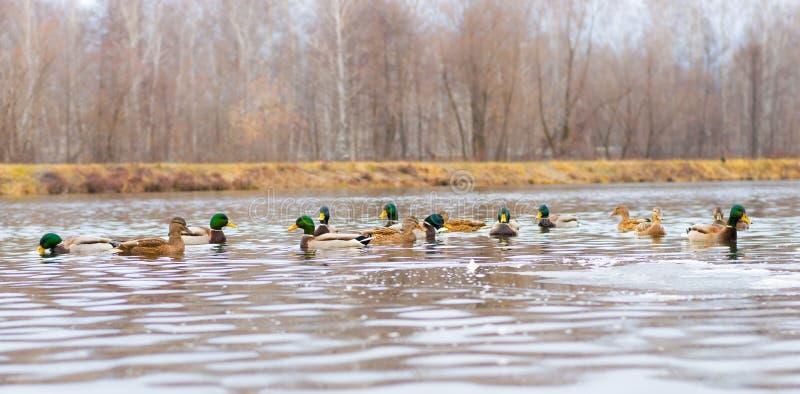 Canards sur le lac ou l'étang images stock