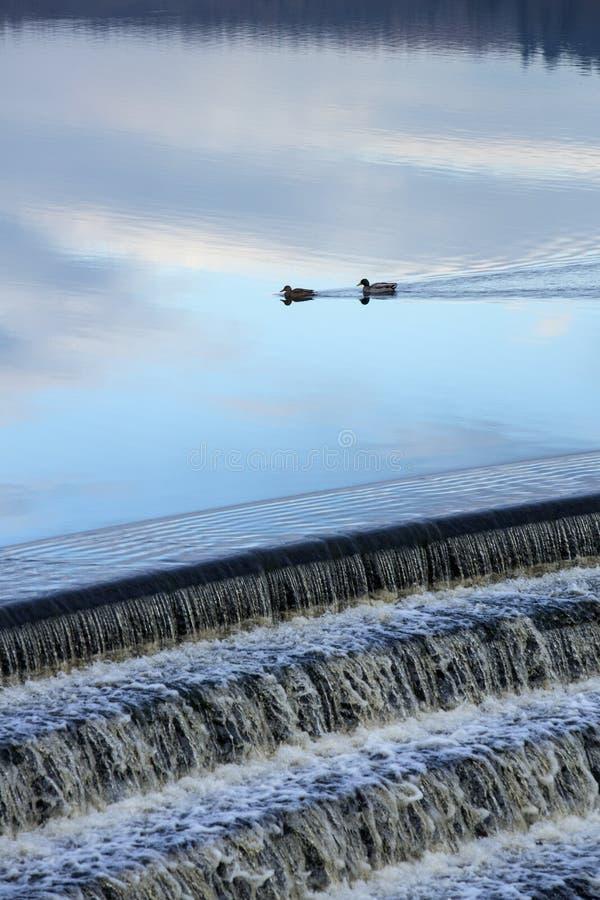 Canards sur le réservoir dans la première lumière d'aube images libres de droits