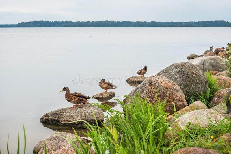 Canards sur le rivage du lac Valdai photographie stock libre de droits