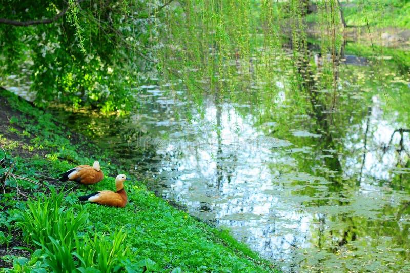 Canards sur un étang photo stock