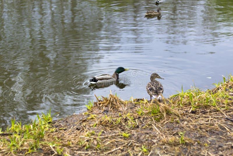Canards sur un étang de ville image stock