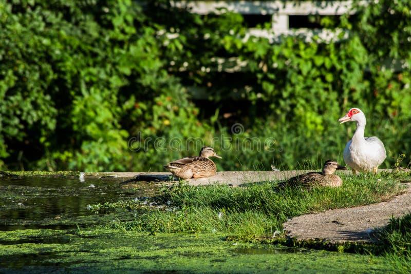 Canards sur un barrage photos stock