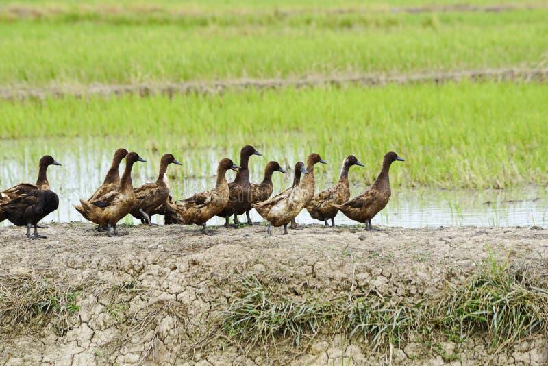 Canards sur un gisement de riz photo libre de droits