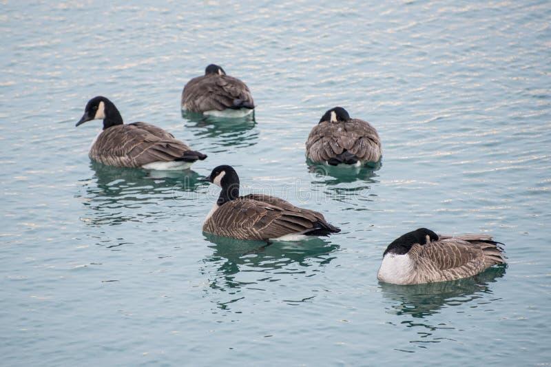 Canards sur un lac images stock