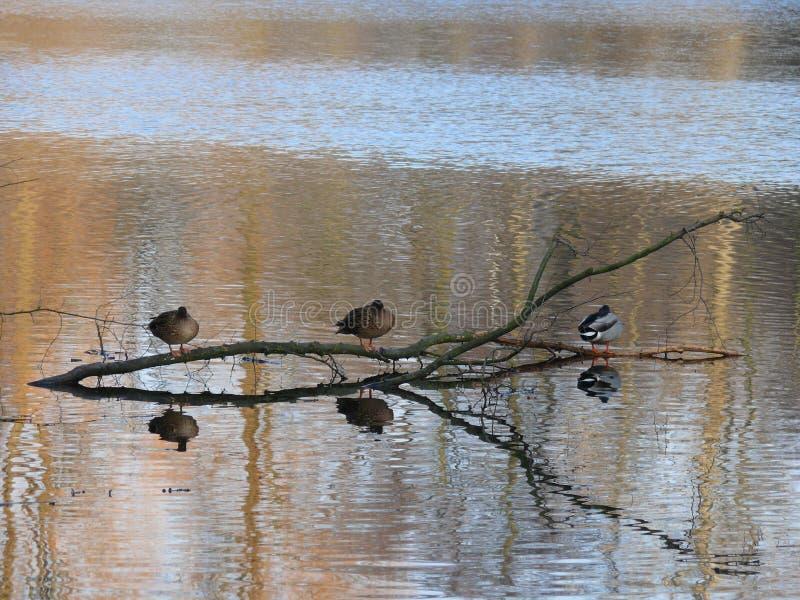 Canards sur un lac image libre de droits