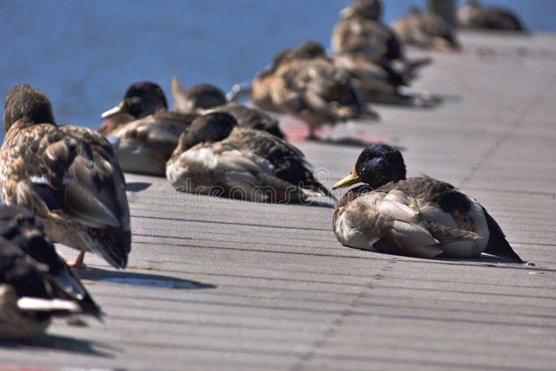 Canards sur un pilier photos libres de droits