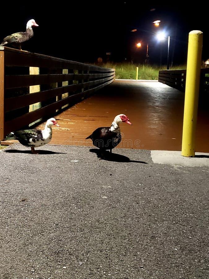 Canards sur un pont la nuit photographie stock libre de droits