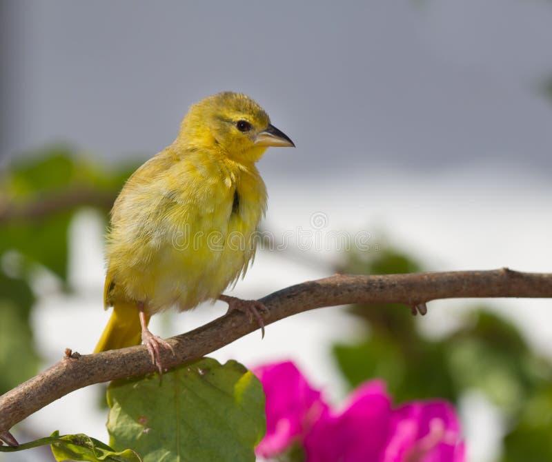Canari jaune photographie stock