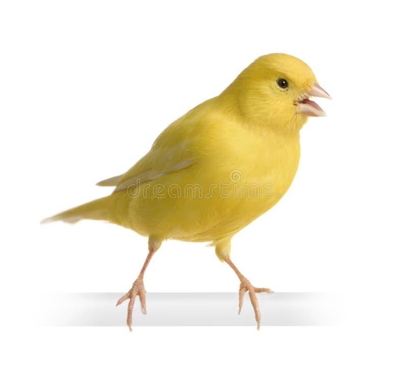 Canari jaune - Serinus canaria sur sa perche photos libres de droits