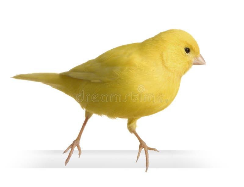 Canari jaune - Serinus canaria sur sa perche photographie stock