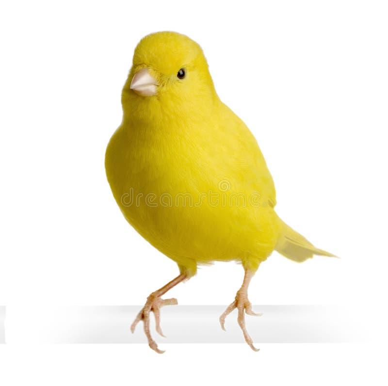 Canari jaune - Serinus canaria sur sa perche images libres de droits