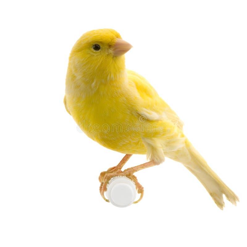 Canari jaune sur sa perche images libres de droits