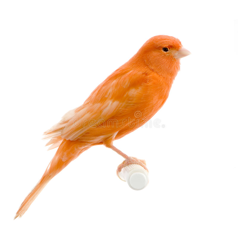 Canari rouge sur sa perche photographie stock