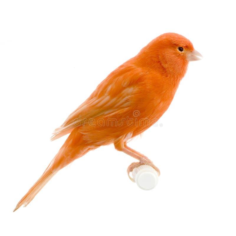 Canari rouge sur sa perche image stock