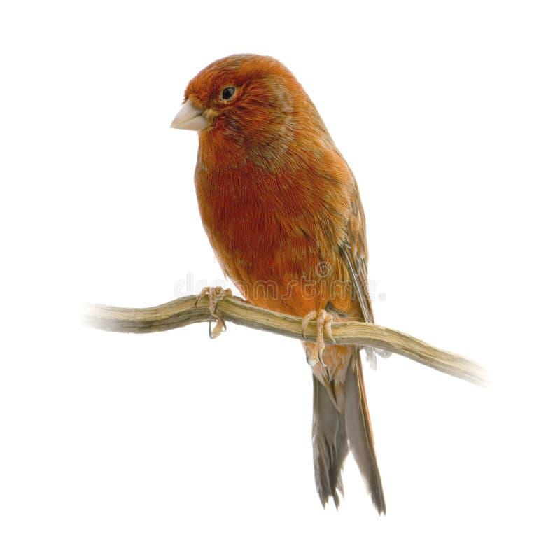 Canari rouge sur sa perche photos libres de droits