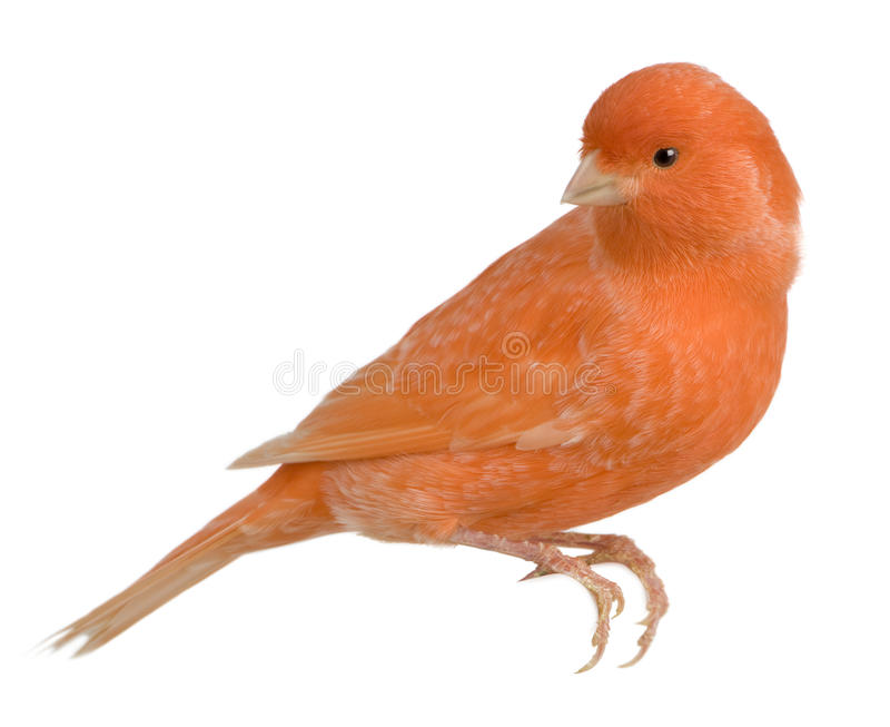 canaria金丝雀被栖息的红色雀类 免版税图库摄影