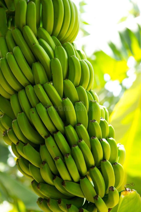 Canarian香蕉种植园Platano在拉帕尔玛岛 免版税图库摄影