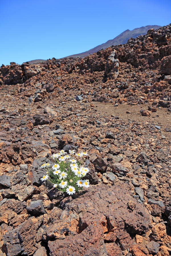 Canarian camomile in stone desert. Canarian camomile among volcanic stones, El Teide volcano, Tenerife royalty free stock image