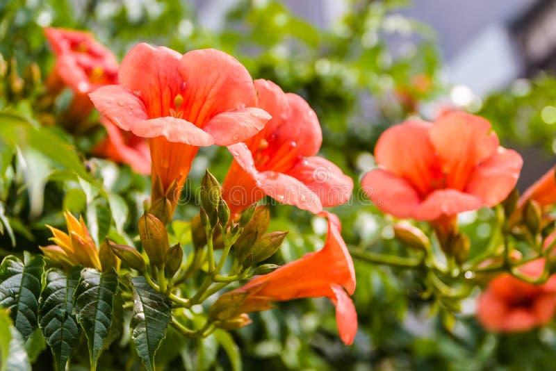 Canariensis Canarina - καναρίνι Bellflower στοκ εικόνα