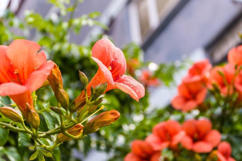 Canariensis Canarina - καναρίνι Bellflower στοκ φωτογραφία με δικαίωμα ελεύθερης χρήσης