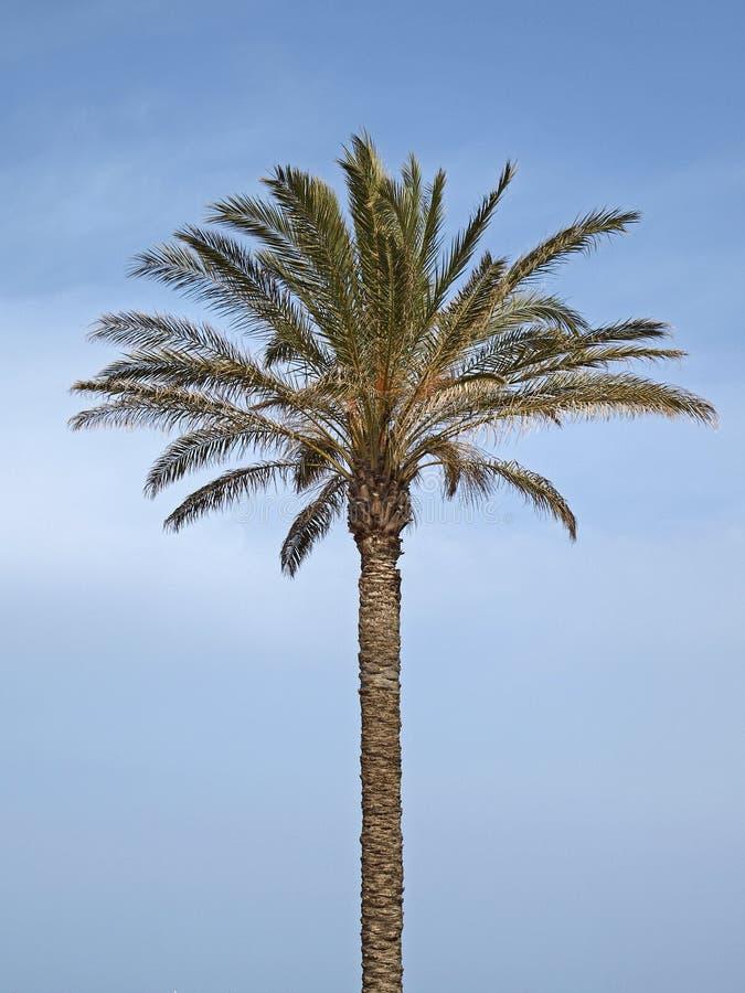 canariensis daktylowej palmy feniks Sardinia fotografia royalty free