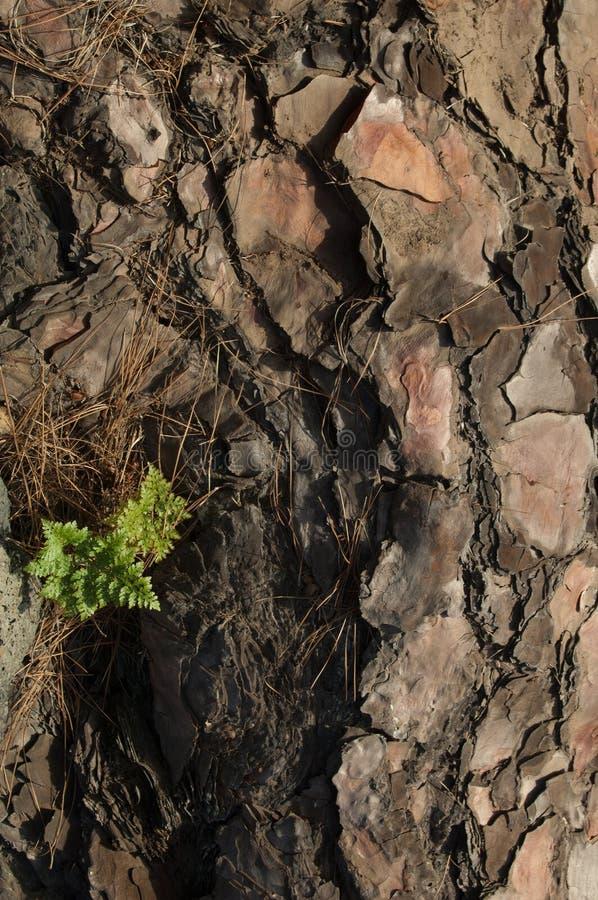 canariensis del Davallia del helecho del Liebre-pie que crece en un árbol caido del canariensis del pinus del pino de Canarias foto de archivo libre de regalías