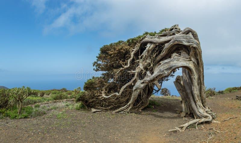 Canariensis del turbinata de Sabina Juniperus torcido por el viento La Dehesa Parque rural de Frontera EL Hierro Islas Canarias e imagen de archivo