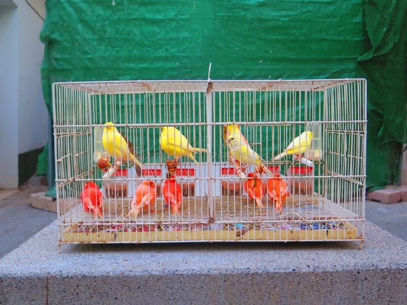 Canaries для продажи стоковое фото