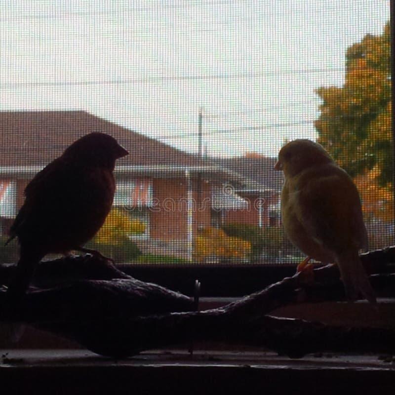 canaries stockbilder
