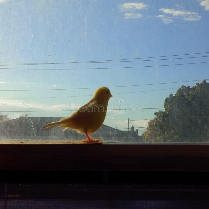 canaries stockfoto