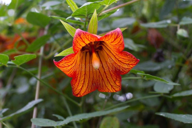 Canarina canariensis orange bell flower. Shadow tolerant plant. Bellflower stock photo