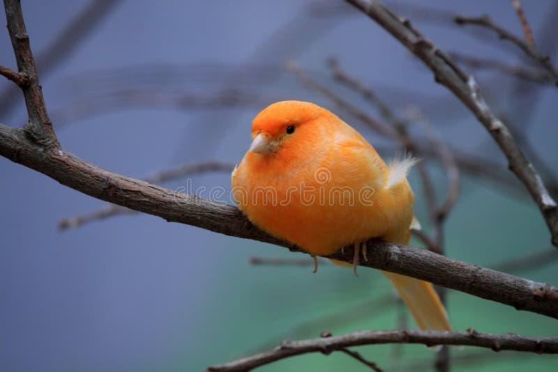Canarino arancio fotografia stock libera da diritti