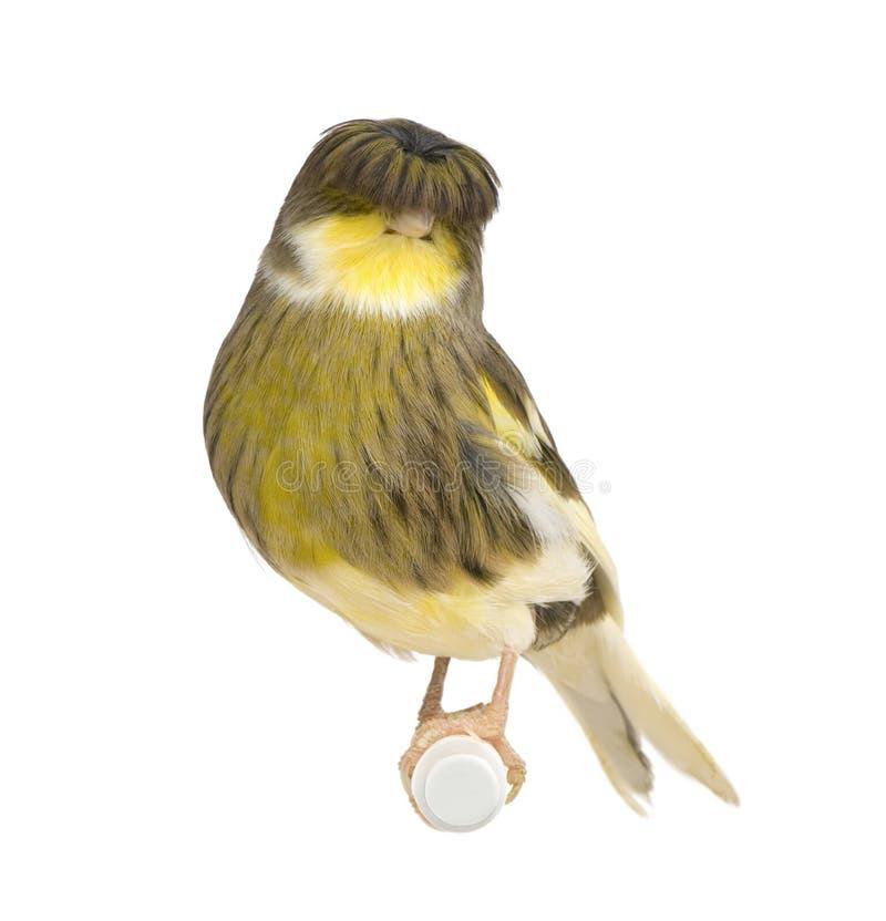 Canarino della corona di Gloster - Serinus canaria immagine stock libera da diritti