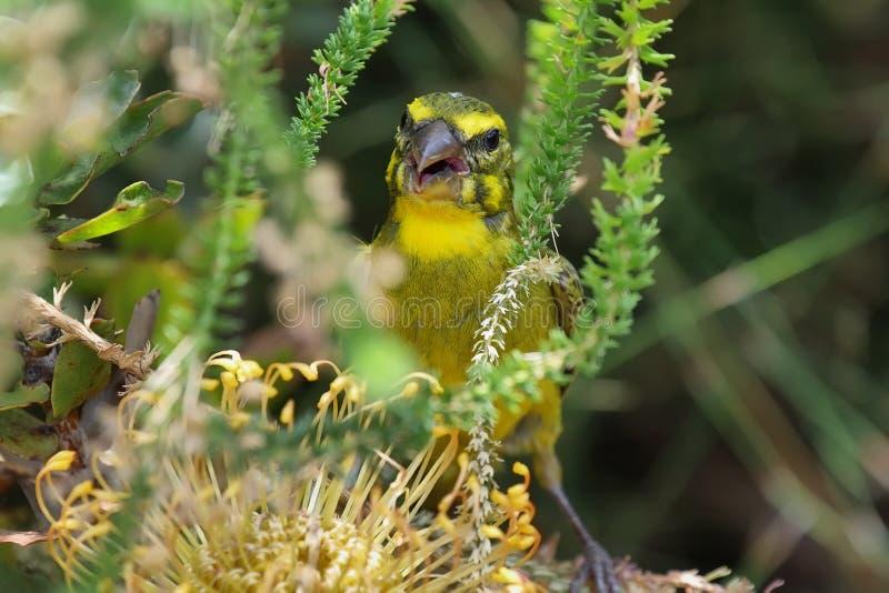 Canarino dello zolfo (sulphuratus del Serinus) fotografie stock