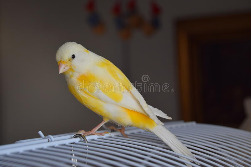 Canarino dorato immagini stock