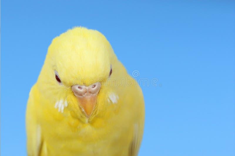 Canarino giallo fotografia stock