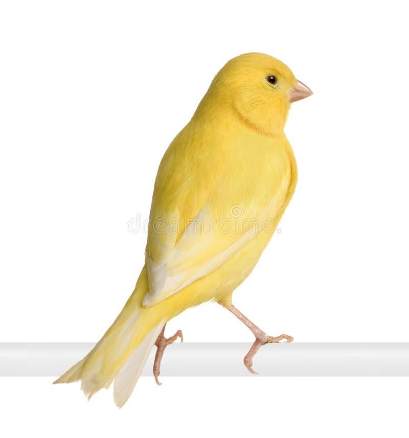 Canarino giallo - Serinus canaria sulla sua perchia immagine stock libera da diritti