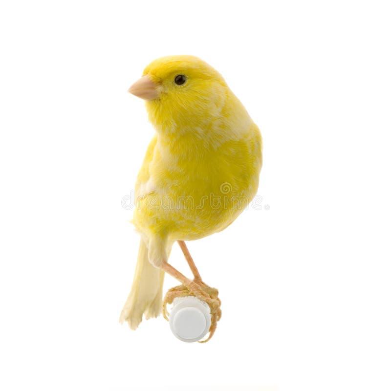 Canarino giallo sulla sua perchia fotografia stock